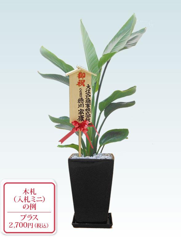 ストレリチア・オーガスタ(陶器鉢植込み、スクエアタイプ黒色) 10
