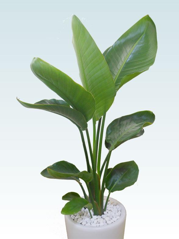 ストレリチア・オーガスタ(陶器鉢植込み、ラウンドタイプ白色) 11