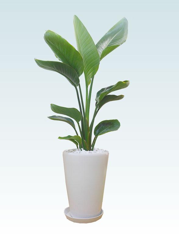 ストレリチア・オーガスタ(陶器鉢植込み、ラウンドタイプ白色) 20