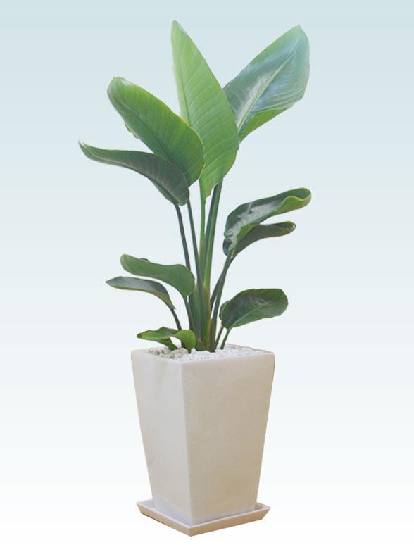 ストレリチア・オーガスタ(陶器鉢植込み、スクエアタイプ白色) 21