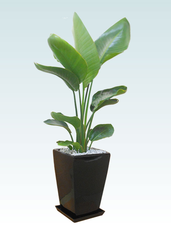 ストレリチア・オーガスタ(陶器鉢植込み、スクエアタイプ黒色) 21