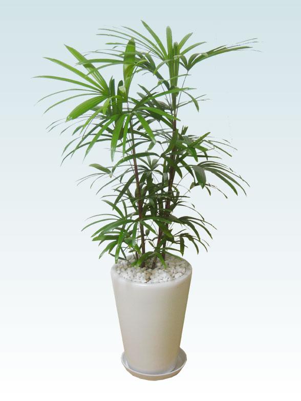シュロチク(陶器鉢植込み、ラウンドタイプ白色) 1