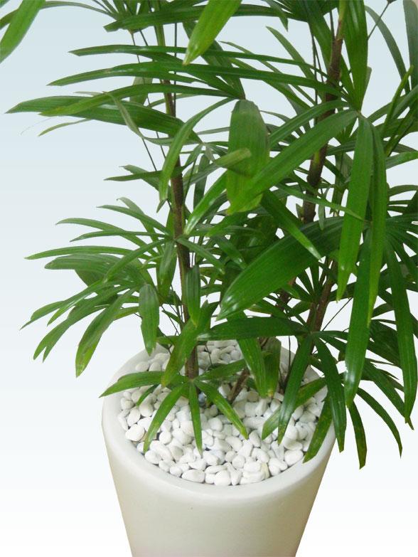 シュロチク(陶器鉢植込み、ラウンドタイプ白色) 5