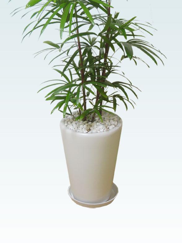 シュロチク(陶器鉢植込み、ラウンドタイプ白色) 13