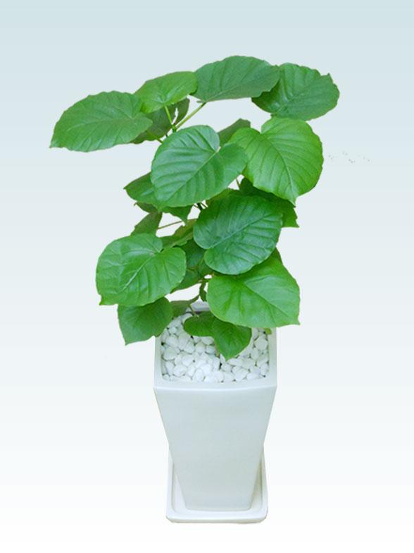 ウンベラータ(陶器鉢植込み、6号スクエア白色) 1