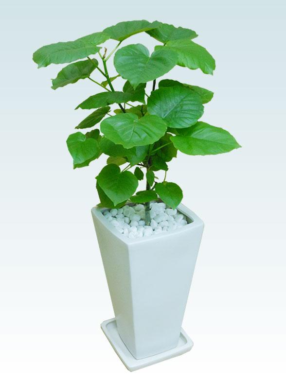ウンベラータ(陶器鉢植込み、6号スクエア白色) 3