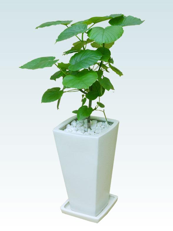 ウンベラータ(陶器鉢植込み、6号スクエア白色) 4