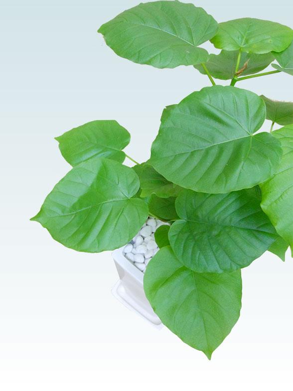 ウンベラータ(陶器鉢植込み、6号スクエア白色) 8