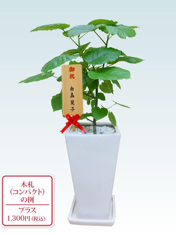 ウンベラータ(陶器鉢植込み、6号スクエア白色) 14
