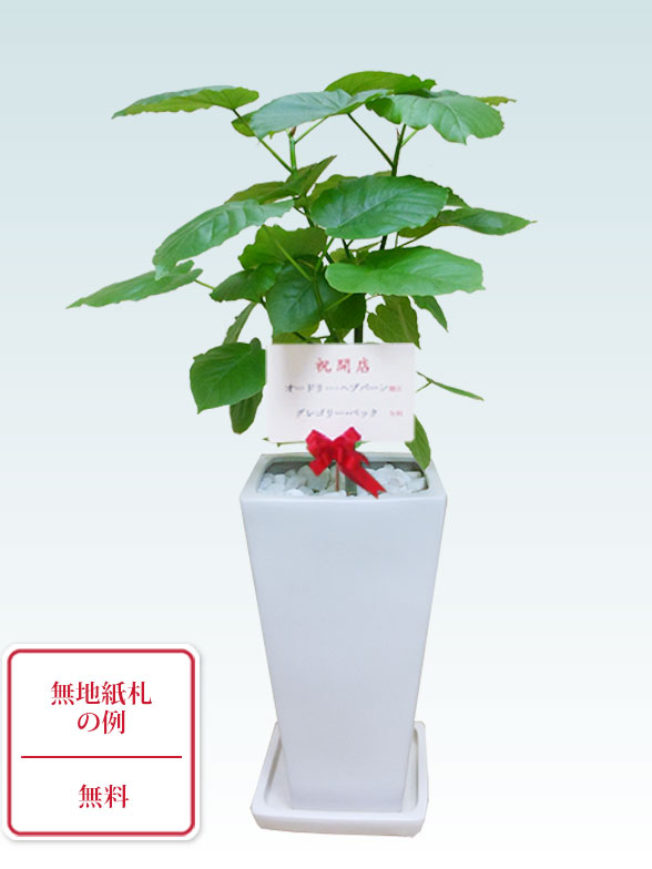 ウンベラータ(陶器鉢植込み、6号スクエア白色) 15