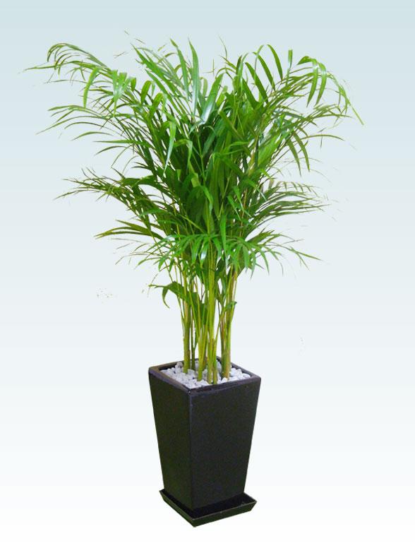 アレカヤシ(陶器鉢植込み、スクエアタイプ黒色) 1