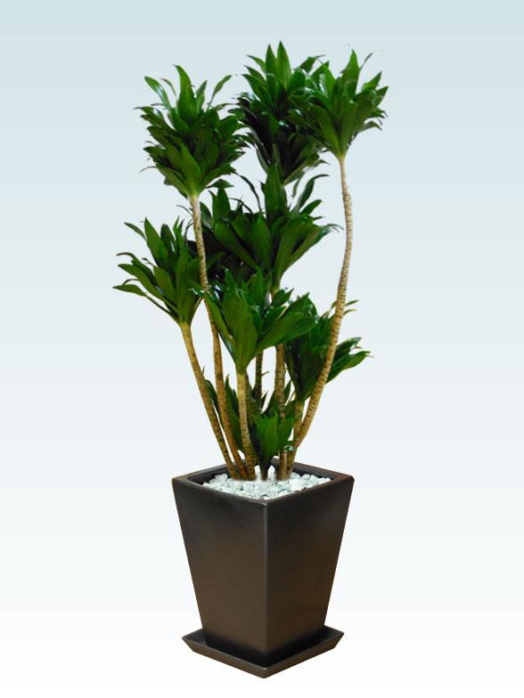ドラセナコンパクター(陶器鉢植込み、スクエアタイプ黒色)1