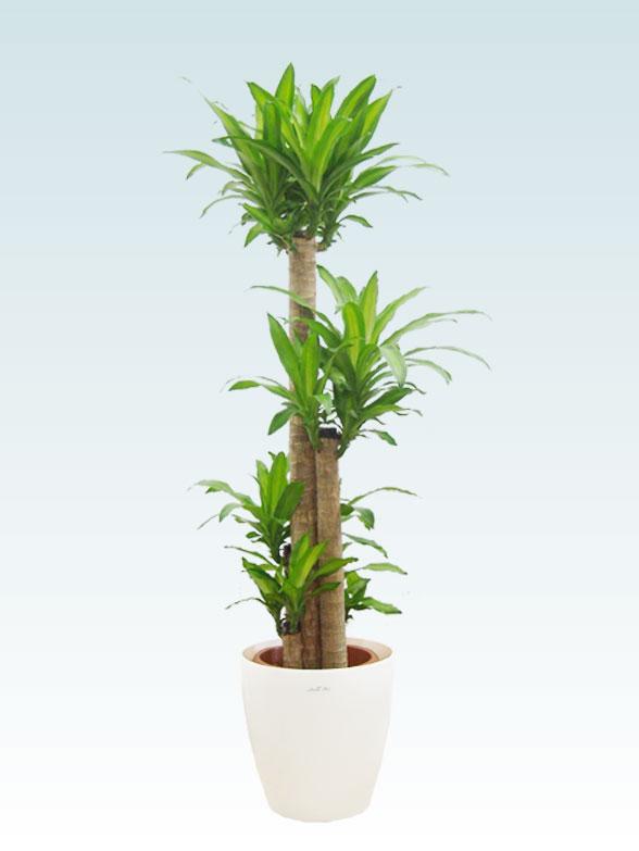幸福の木(ラスターポット付) Lサイズ1