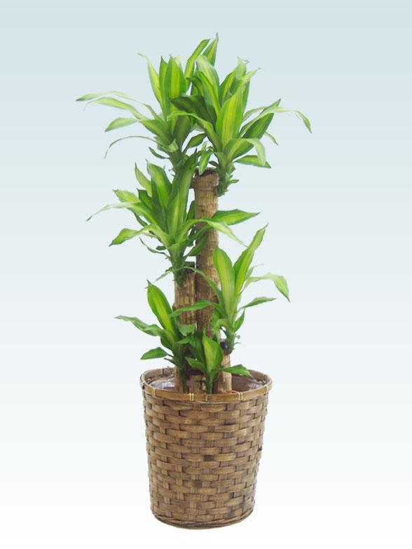 幸福の木(籐かご付、ダークブラウン色) Mサイズ 1