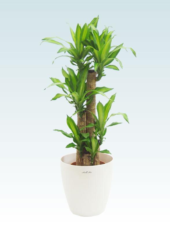 幸福の木(ラスターポット付) Mサイズ 1