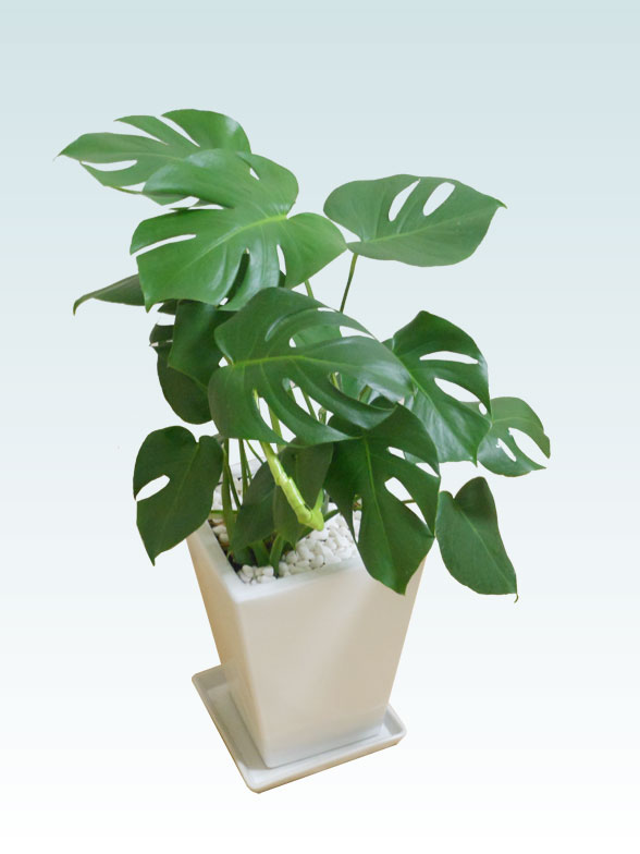 モンステラ(陶器鉢植込み、スクエアタイプ白色)1