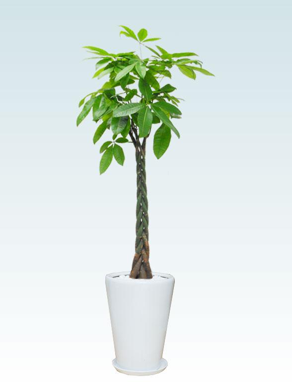パキラ(陶器鉢植込み、ラウンドタイプ白色) Lサイズ 1