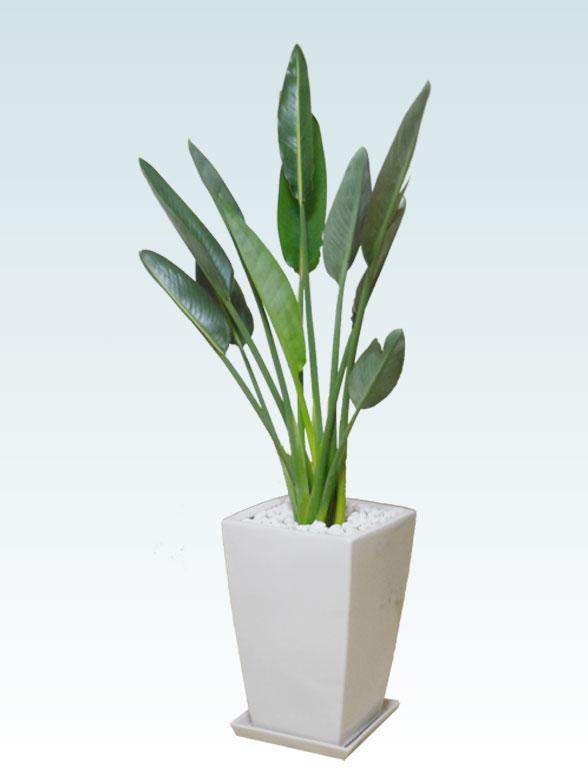 ストレリチア・レギネ8号(陶器鉢植込み、スクエアタイプ白色) 1