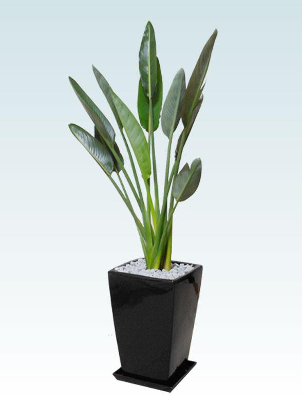 ストレリチア・レギネ8号(陶器鉢植込み、スクエアタイプ黒色) 1