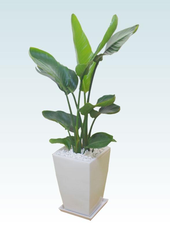 ストレリチア・オーガスタ(陶器鉢植込み、スクエアタイプ白色) 1
