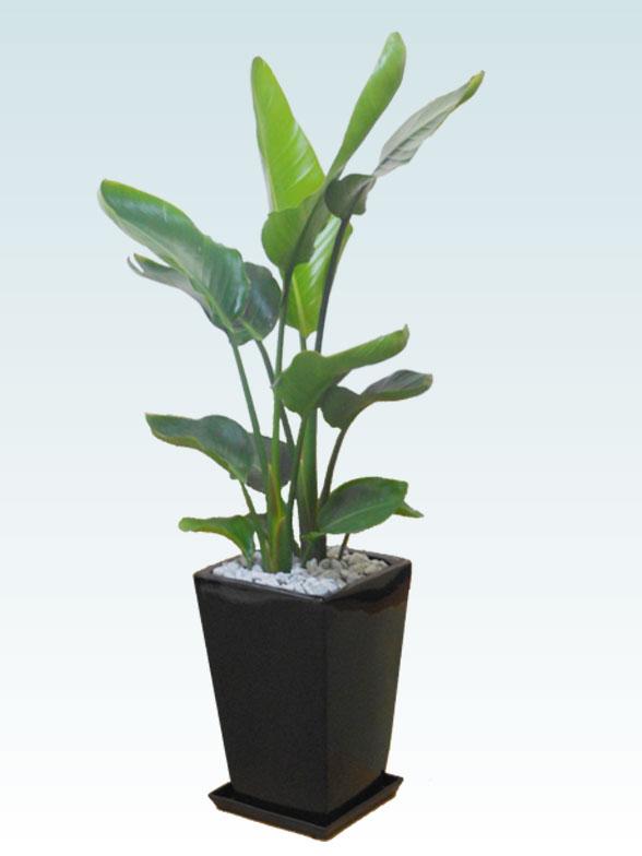 ストレリチア・オーガスタ(陶器鉢植込み、スクエアタイプ黒色) 1