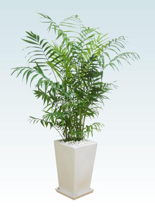 テーブルヤシ(陶器鉢植込み、スクエアタイプ白色)1
