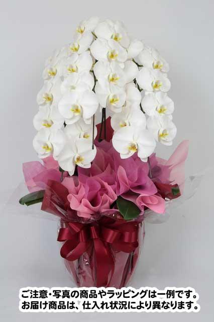 胡蝶蘭生花