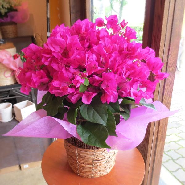 【送料無料】ひらひら華やかで可愛い♪ ブーゲンビレア(レッド系)5号鉢サイズ 鉢植え 【薫る花】【花 フラワー 鉢花 プレゼント ギフト 贈り物 ブーゲンビリア ミセスバット 母の日ギフト 母の日 特集 2019年】