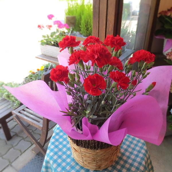 【送料無料】母の日の大定番♪上質のお花を厳選してお届け♪ カーネーション(赤色)5号鉢サイズ 鉢植え 【薫る花】【花 フラワー 鉢花 プレゼント ギフト 贈り物 母の日ギフト 母の日 特集 2020年】