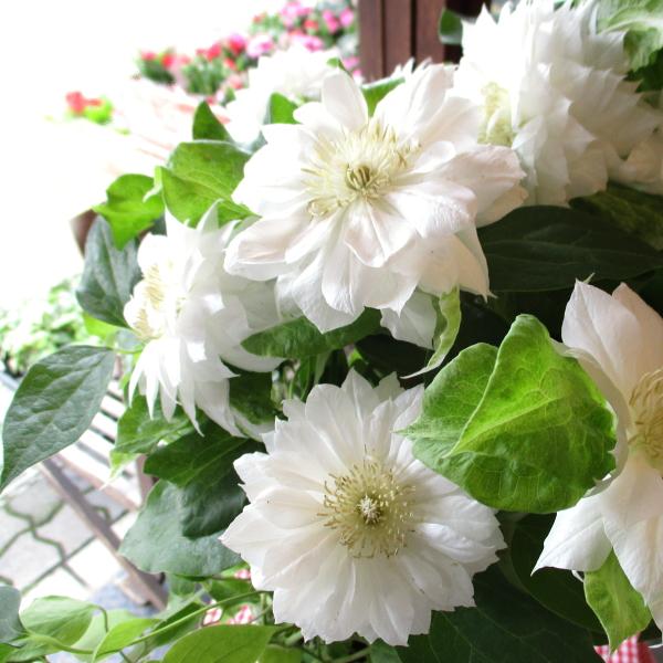 【送料無料】八重咲き クレマチス ダッチェス オブ エジンバラ 6号鉢サイズ 鉢植え 白色 ホワイト 【薫る花】【花 フラワー 鉢花 プレゼント ギフト 贈り物 テッセン 母の日ギフト 母の日特集 早割り 2020年】