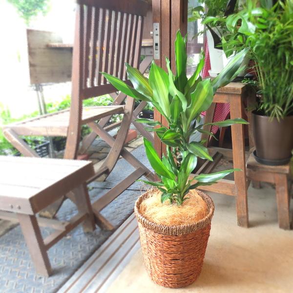 【送料無料】流通量少ないです♪ ドラセナ・ジェレ 6号鉢サイズ 【薫る花】【観葉植物 ミニ インテリアグリーン プレゼント ギフト 贈り物 誕生日 記念日 開店祝い 引越し祝い 新築祝い】