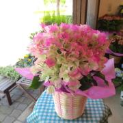 【送料無料】ひらひら麗しくてキュート♪ ブーゲンビレア(ピンク系)5号鉢サイズ 鉢植え 【薫る花】【花 フラワー 鉢花 プレゼント ギフト 贈り物 ブーゲンビリア ブライダルピンク 母の日ギフト 母の日 特集 2019年】