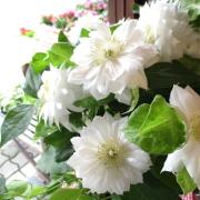 【送料無料】八重咲き クレマチス ダッチェス オブ エジンバラ 6号鉢サイズ 鉢植え 白色 ホワイト 【薫る花】【花 フラワー 鉢花 プレゼント ギフト 贈り物 テッセン 母の日ギフト 母の日特集 早割り 2019年】