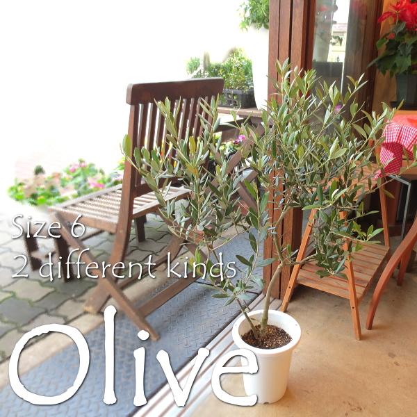 【送料無料】小さな幸せ実らせて♪オリーブ2品種植え6号鉢サイズ 【観葉植物 プレゼント 誕生日 開店祝い 引越し祝い オリーブの木】