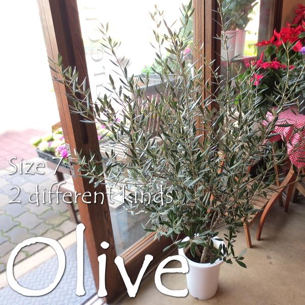 【送料無料】小さな幸せ実らせて♪オリーブ2品種植え7号鉢サイズ 【観葉植物 プレゼント ギフト 誕生日 開店祝い 引越し祝い オリーブの木】