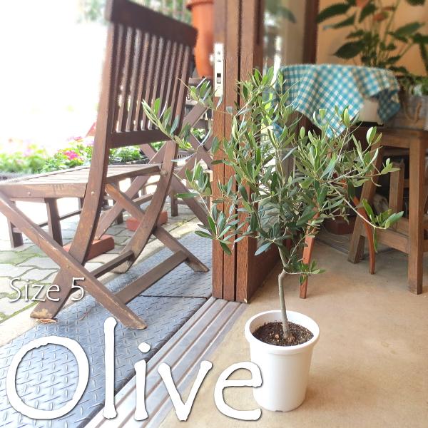 【送料無料】オシャレなカフェや雑貨屋さんで必須のグリーン♪小振りなサイズ♪ オリーブ 5号鉢サイズ 【観葉植物 プレゼント ギフト 誕生日 開店祝い 引越し祝い オリーブの木】