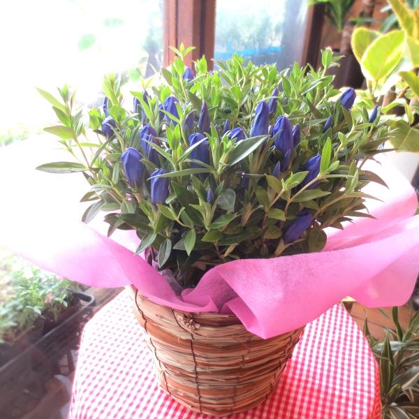 【送料無料】輝くような青色♪厳選上質♪ リンドウ シャインブルーアシロ 5号鉢サイズ 鉢植え 【薫る花】【花 フラワー 鉢花 プレゼント ギフト 贈り物 お誕生日 りんどう 竜胆 敬老の日ギフト おばあちゃん おじいちゃん 早割り】