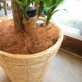 グリーンをもっとスマートに飾りましょ♪ マルチング(鉢土隠し)材ココファイバー(ナチュラル)約100g 【薫る花】【観葉植物 花鉢 寄せ植え ハンギング プレゼント ギフト 鉢カゴ 鉢カバー】