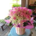 【送料無料】ひらひら麗しくてキュート♪ ブーゲンビレア(ピンク系)5号鉢サイズ 鉢植え 【薫る花】【花 フラワー 鉢花 プレゼント ギフト 贈り物 ブーゲンビリア ブライダルピンク 母の日ギフト 母の日 特集 2021年】