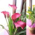 【送料無料】カラー 5号鉢サイズ 鉢植え 選べる花色 ピンク系 イエロー系 【薫る花】【花 フラワー 鉢花 プレゼント ギフト 贈り物 畑地性 湿地性 母の日ギフト 母の日特集 2021年】