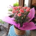 【送料無料】母の日の大定番♪上質のお花を厳選してお届け♪ カーネーション(ピンク色)5号鉢サイズ 鉢植え 【薫る花】【花 フラワー 鉢花 プレゼント ギフト 贈り物 母の日ギフト 母の日 特集 2019年】