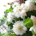 【送料無料】八重咲き クレマチス ダッチェス オブ エジンバラ 6号鉢サイズ 鉢植え 白色 ホワイト 【薫る花】【花 フラワー 鉢花 プレゼント ギフト 贈り物 テッセン 母の日ギフト 母の日特集 早割り 2021年】