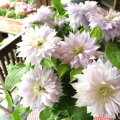 【送料無料】八重咲き クレマチス ベル オブ ウォーキング 6号鉢サイズ 鉢植え 薄い紫色 淡い紫 パープル 【薫る花】【花 フラワー 鉢花 プレゼント ギフト 贈り物 テッセン 母の日ギフト 母の日特集 早割り 2021年】