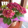 【送料無料】大人色の素敵なお花♪ アジサイ「グリーンシャドウ」5号鉢サイズ 鉢植え 【薫る花】【花 フラワー 鉢花 プレゼント ギフト 贈り物 紫陽花 あじさい ハイドランジア 母の日ギフト 母の日 特集 2021年】