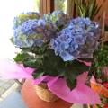 【送料無料】鮮やかなブルーのお花♪ アジサイ「マリンブルー」5号鉢サイズ 鉢植え 【薫る花】【花 フラワー 鉢花 プレゼント ギフト 贈り物 紫陽花 あじさい ハイドランジア 青い 青色 水色 母の日ギフト 母の日 特集 2019年】