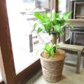【送料無料】幸せになれますように♪ ドラセナ・マッサンゲアナ(幸福の木)6号鉢サイズ 【薫る花】【観葉植物 ミニ インテリア プレゼント ギフト 誕生日 開店祝い 引越し祝い 新築】
