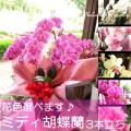 【送料無料】ミディ胡蝶蘭3本立ち(21輪以上)(お花の色を選べます) 【薫る花】【花/フラワー/プレゼント/ギフト/贈り物/誕生日/結婚記念日/ミニコチョウラン/敬老の日】