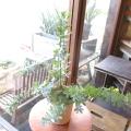 ミモザアカシア 銀葉アカシア 5号鉢サイズ 鉢植え 苗木 送料無料 薫る花 庭木 シンボルツリー 常緑樹 小型 ミニ ギンヨウアカシア ミモザの日