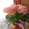 【送料無料】金賞受賞♪白色にピンクのラインがエレガント♪ アジサイ「未来」5号鉢サイズ 鉢植え 【薫る花】【花 フラワー 鉢花 プレゼント ギフト 贈り物 紫陽花 あじさい ハイドランジア 母の日ギフト 母の日 特集 2021年】