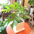 【送料無料】小ぶりでキュートな人気のグリーン♪ 姫モンステラ白色スクエア陶器鉢植え 【薫る花】【観葉植物 ミニ プレゼント 誕生日 開店祝い 引越し祝い 新築祝い ヒメモンステラ】